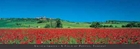 A Field Of Poppies, Tuscany